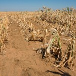 SA drought maize