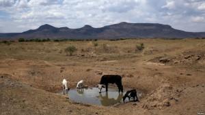 Drought livestock